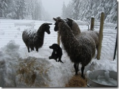 03-01-07 llamas in snow with Shadow 001
