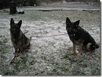 12-12-07 stray German Shepard dogs 002