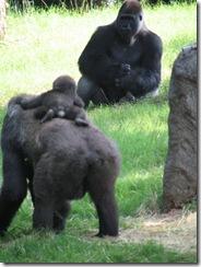 GorillaZooTrip 058
